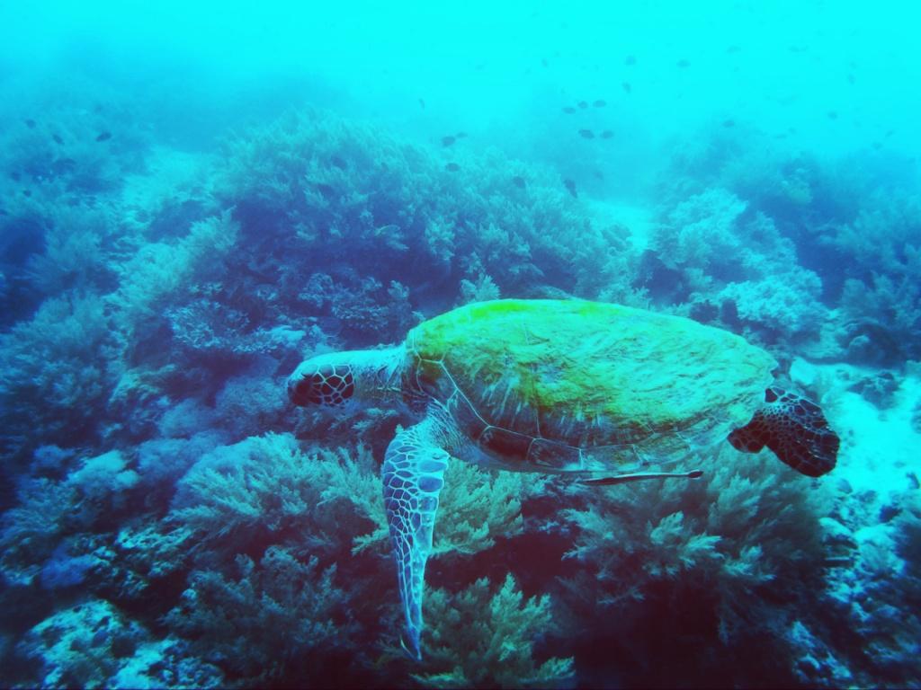 Turtles Balicasag Island