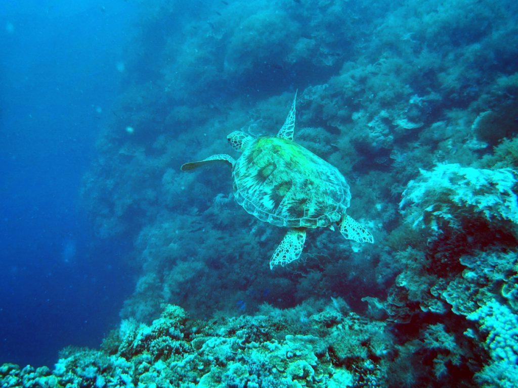 Green Turtle in Balicasag