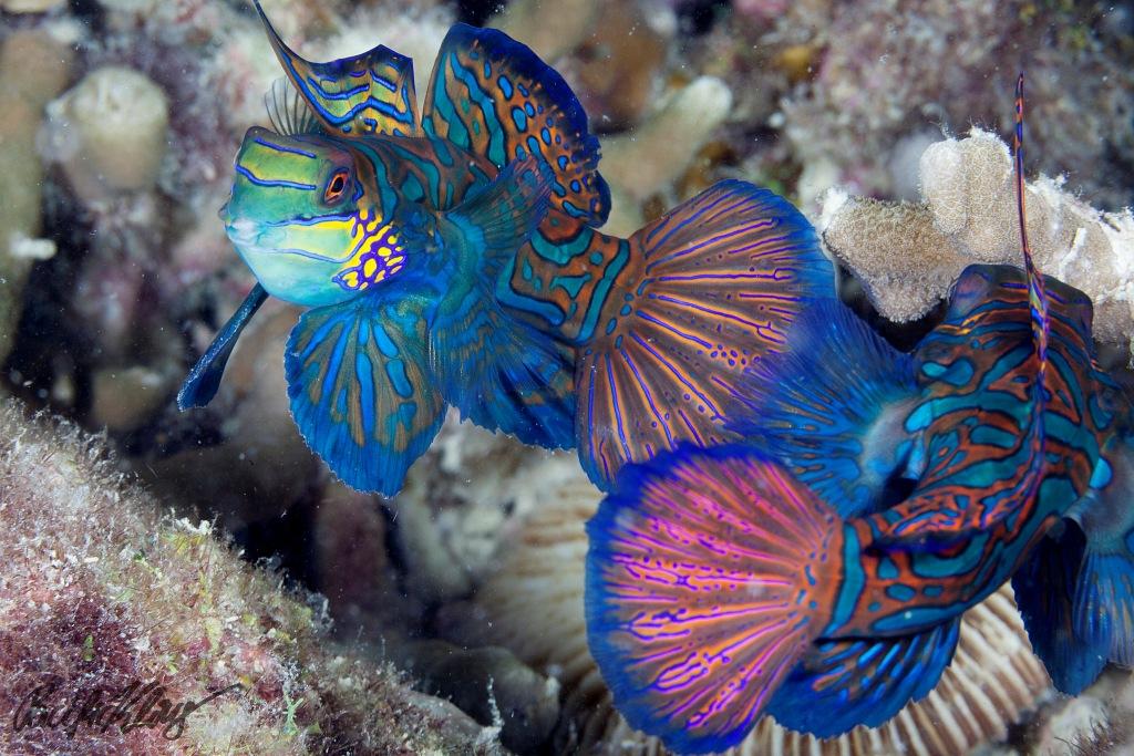 Mandarin Fish_Malapascua