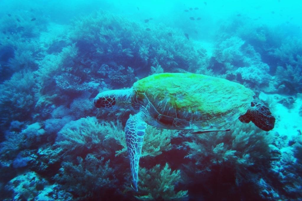 Turtles Panglao