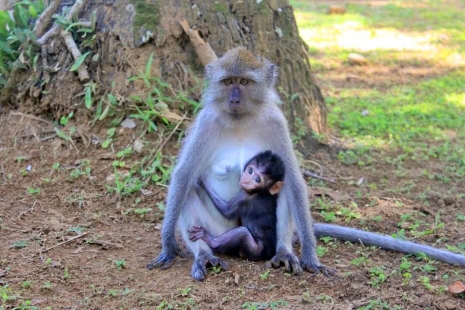Koh Lanta Monkeys