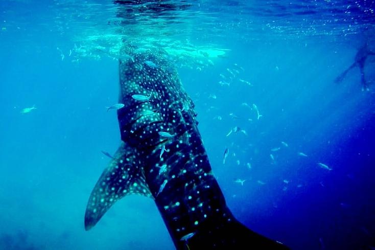 whaleshark snorkeling philippines